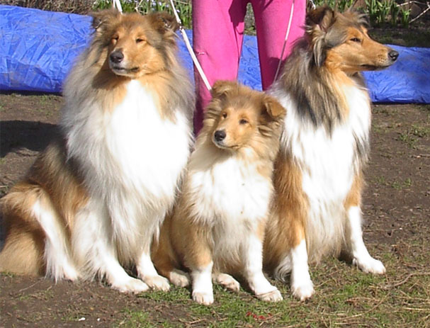 Our Rough Collies
